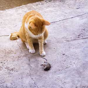 Ginger cat catching a mouse
