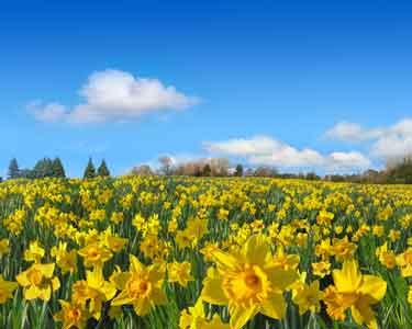 A field full of daffodils